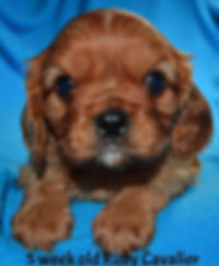 Available Cavalier King Charles Spaniel puppies