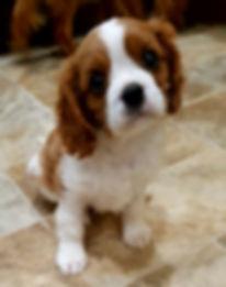 Blenheim Cavalier Puppy King Charles Spaniel