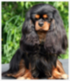 Black and Tan Cavaliers available