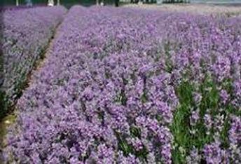 mailette lavender.jpeg