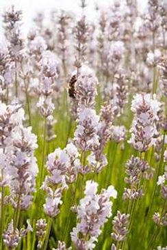 melissa lavender.jpeg