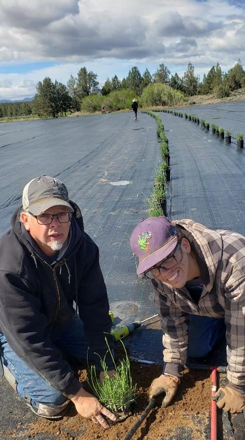 Planting our 1 gallon Lavender Grosso Plants