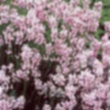 hidcote pink lavender.jpeg