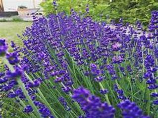 hidcote blue lavender.jpeg