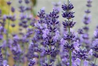 english lavender.jpeg