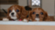 Ruby Cavalier Puppies available