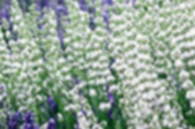 cathy blanc lavender.jpg