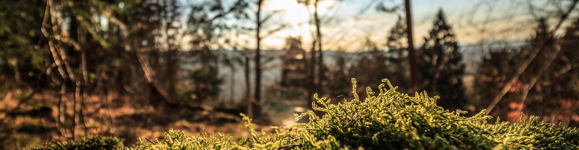 Grønn mose i solnedgangen