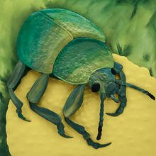 tansy beetle 2020.jpg
