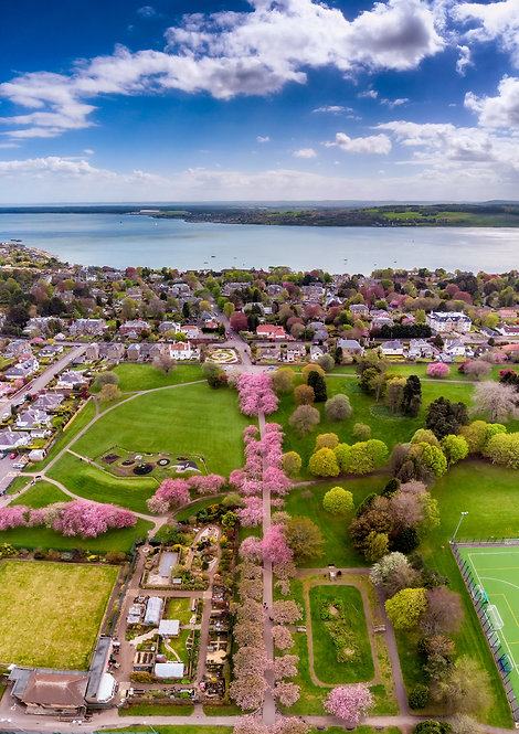 Dawson Park Cherry Blossom