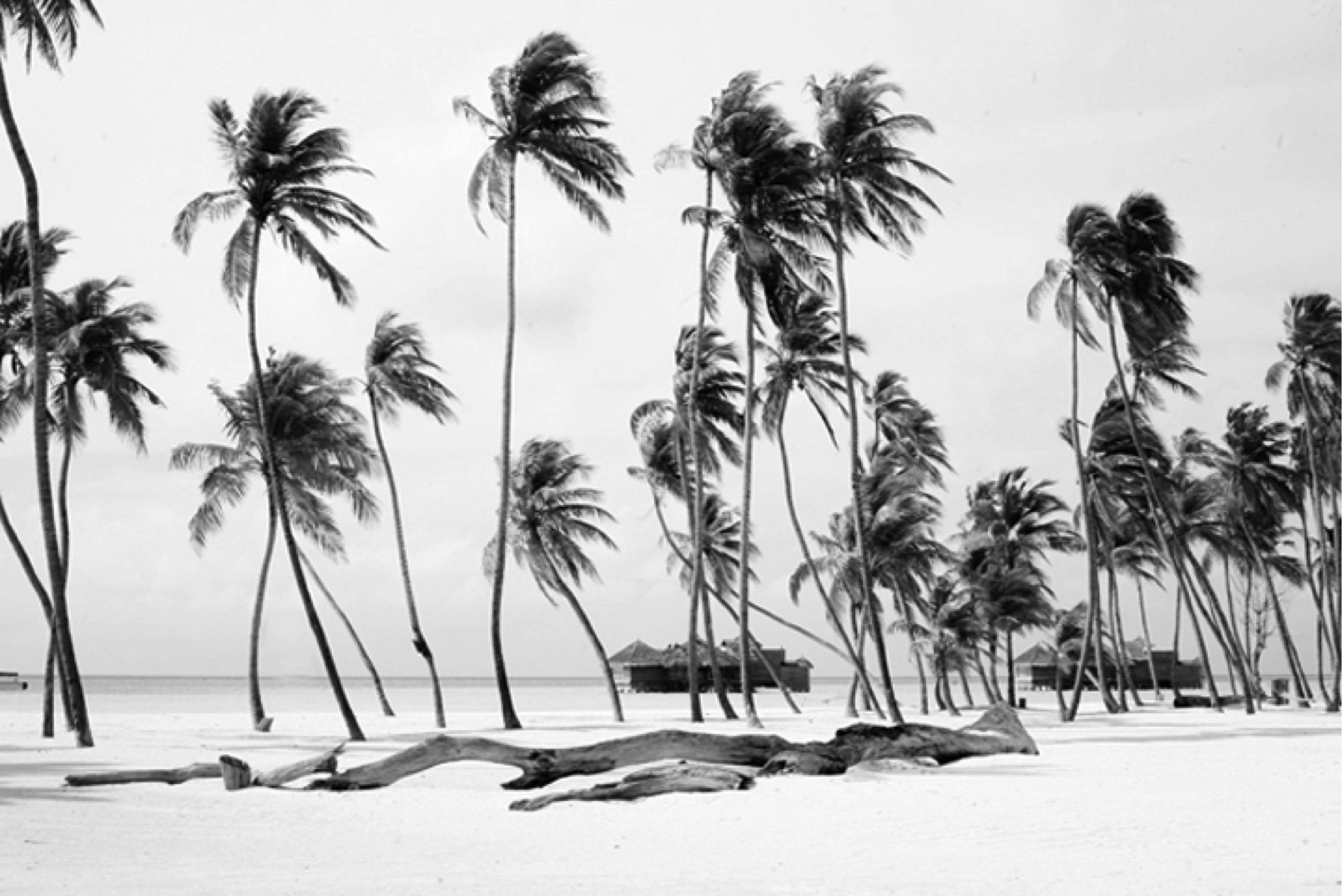 HMG Palm Trees BW