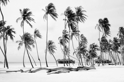 HMG Palm Trees BW