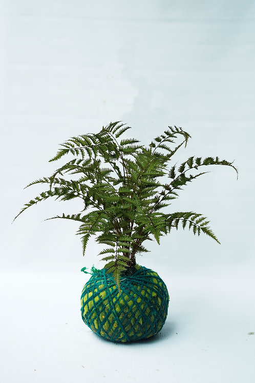 Lady fern