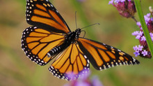 Monarch Waystation Project Kicks Off