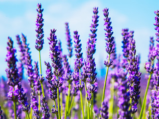 Lavender Lovers, Look Here
