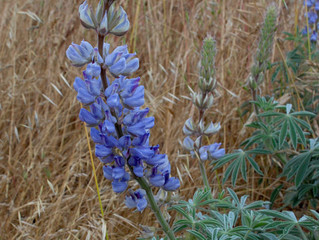 Save the Lupines Oct. 1 in SF