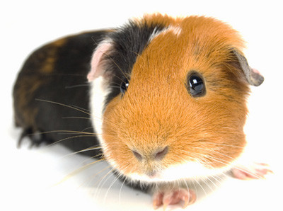 Guinea Pig Website by TW Web Design Photography & Web design