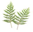 Decorative Cedar