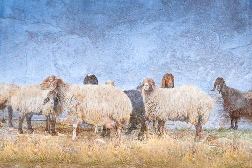 """""""Sheep, Sheep, Sheep (and some Goats too!)"""