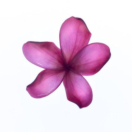 """Purple Frangipani"""