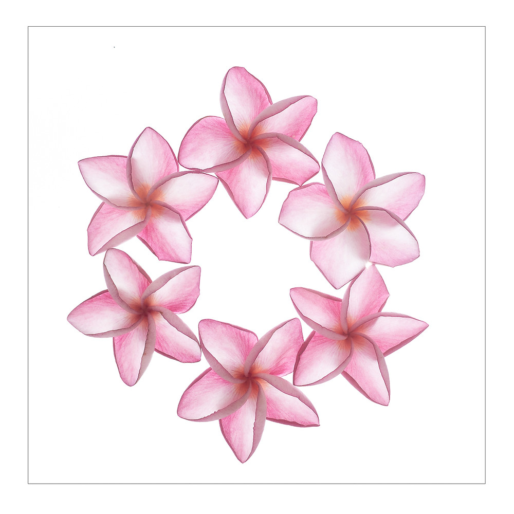 Pink Frangipani flowers forming a ring