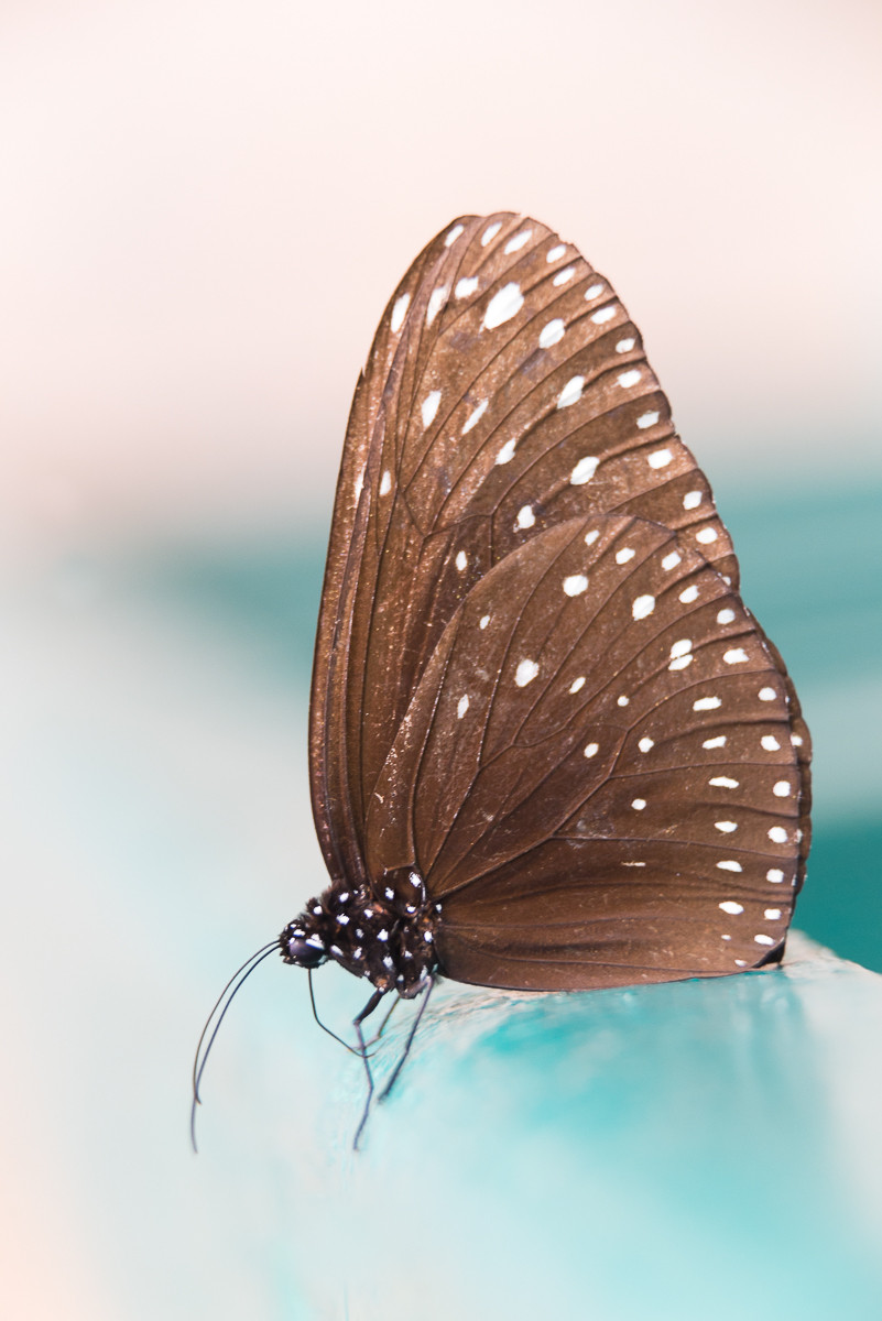 brown colored butterfly with white spots sits on a blue bar