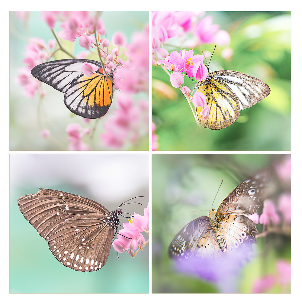 different color butterflies pink flowers