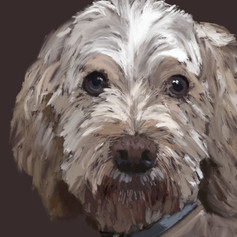 Jumbo, Cockapoo Dog Portrait