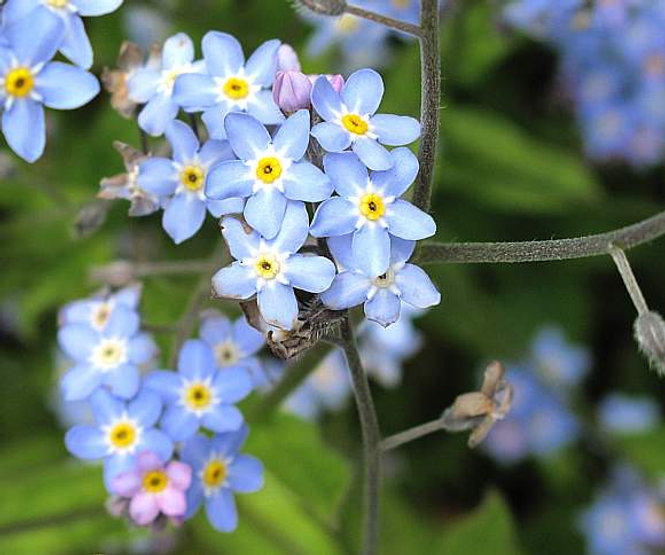forget me not 6.jpg