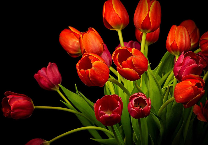bunch of red tulips on black.jpg