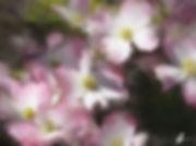 PinkDogwood.jpg