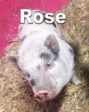 Charmante dame cochon Rose