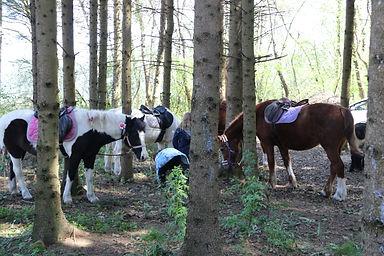 chevaux et poneys dans la forêt