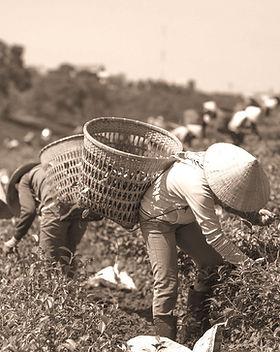 Harvesting%20Tea%20Leaf_edited.jpg