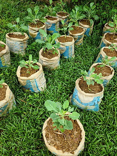 my-brothers-keeper-collared-greens-agriculture.jpg