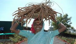 Shatavari Wild crafted