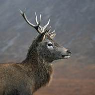 Young Stag by M.Anderson