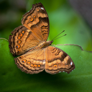 Junonia Hedonia (brown soldier) by M.Farrance
