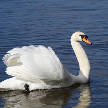 Swan by F.Wilson