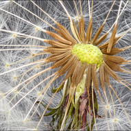 Dandelion Clock by Donald Parsons