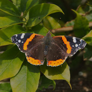 Red Admiral by Gordon Stewart