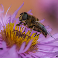Hover fly at rest by B.Wright