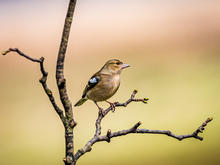 Chaffinch in the Spring by Stuart Glen