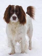 Spaniel in the snow by Susanna Smith