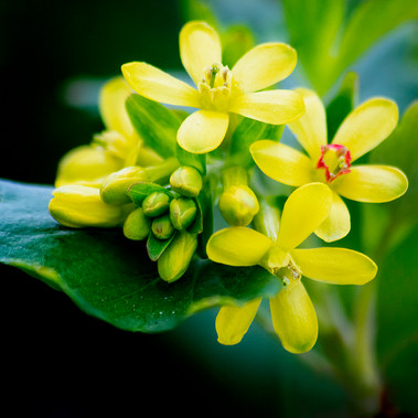 Golden currant by S.Smith