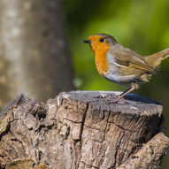 Robin 2 by C.Dalbeck