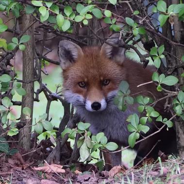 Fox by Ian Milne