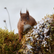 Red Squirrel by Ian Milne