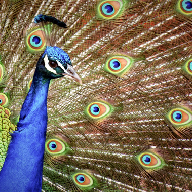 Peacock by J.Prentice