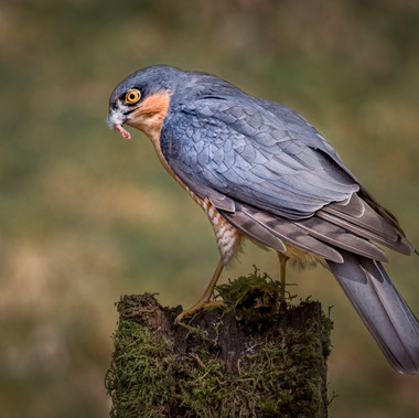 Sparrowhawk with dinner by A.Hill